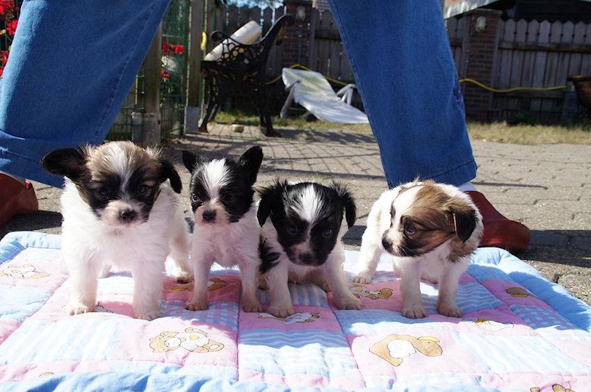 Phalene pupjes